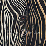 Zebra, original oil painting of a close up view of a zebra's face by Eugenia Talbott