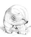 Ice King, original graphite drawing of a polar bear from Churchill, Manitoba, Canada by Eugenia Talbott